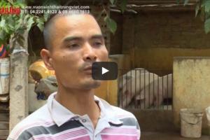 Anh Hùng Chăn nuôi lợn bằng chế phẩm sinh học