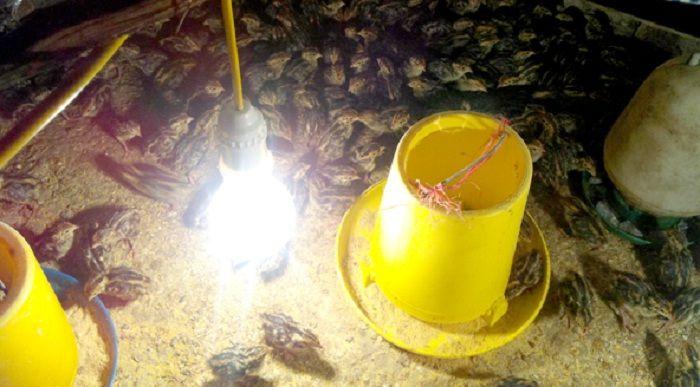 Mô hình nuôi chim Cút sử dụng Chế phẩm sinh học Vườn Sinh Thái tại Hải Dương