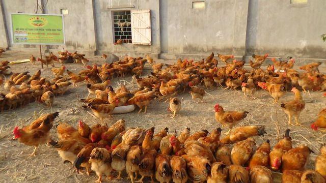Mô hình nuôi gà hiệu quả cao bằng Chế phẩm sinh học tại Chương Mỹ