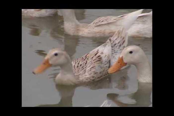 Chế phẩm sinh học sử dụng nuôi Vịt đẻ trứng và nuôi thả Cá