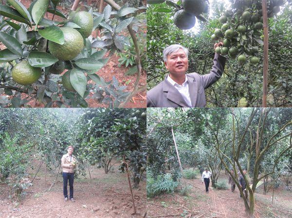 Mô hình trồng Cam đạt năng suất cao nhờ sử dụng Chế phẩm sinh học Vườn Sinh Thái