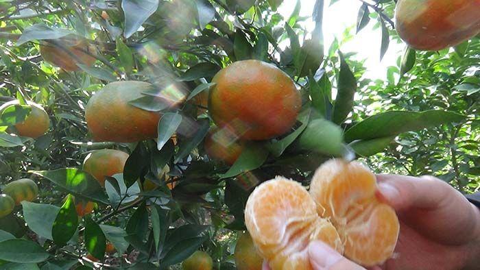 Mô hình trồng Cam đường canh và Chanh đào ứng dụng Chế phẩm Vườn Sinh Thái tại Hưng Yên