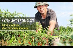 Hiệu quả từ trồng ớt bằng Chế phẩm Vườn Sinh Thái tại Bắc Giang
