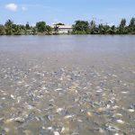 Cách tạo độ trong thích hợp và ổn định cho ao nuôi cá